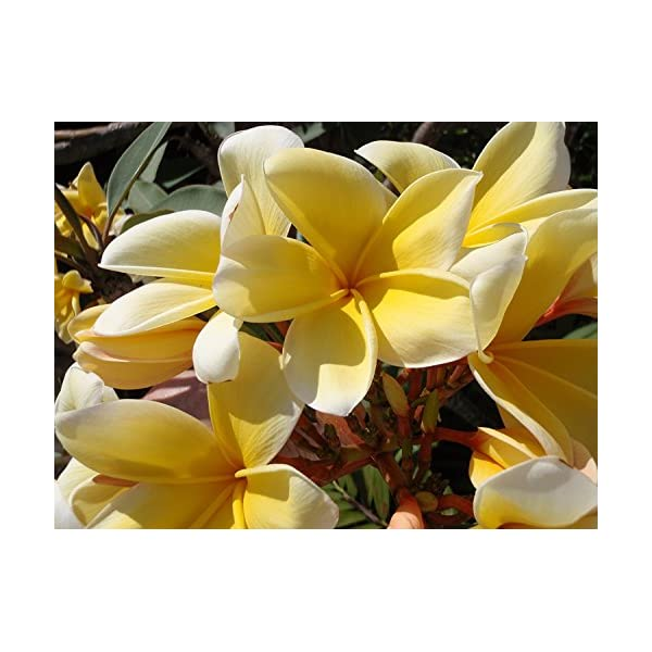1 Hawaii Yellow Frangipani Plumeria Unrooted Slip