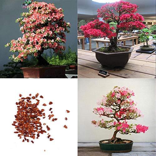 Bonsai Oriental Cherry Blossoms Tree Flower Seeds Home Garden Flowers ()