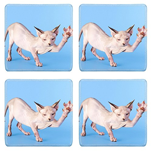 Sphinx Slip - Luxlady Square Coasters Non-Slip Natural Rubber Desk Coasters IMAGE ID: 23533938 Young canadian sphinx cat on a blue background