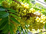 5 Seeds Star Gooseberry (Phyllanthus acidus)