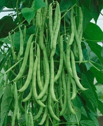 Bean seed Kentucky Wonder Pole Vegetable Seeds High Yields Tasty Fresh or Frozen