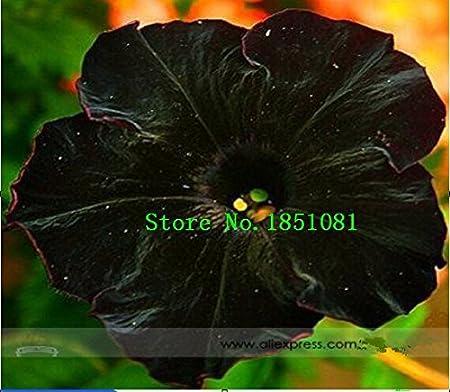 Amazon Com Rare Super Black Cat Petunia Flower Seeds