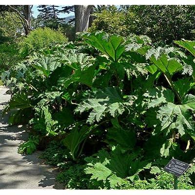 Cheap Fresh Gunnera Tinctoria Gigantic Leaves Seeds Get 5 Seeds Easy Grow #GRG01YN : Garden & Outdoor