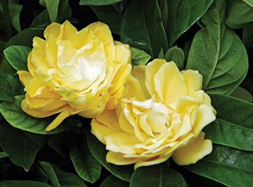 Golden Magic Gardenia - Cape Jasmine - Live Plant - 4 Inch Pot