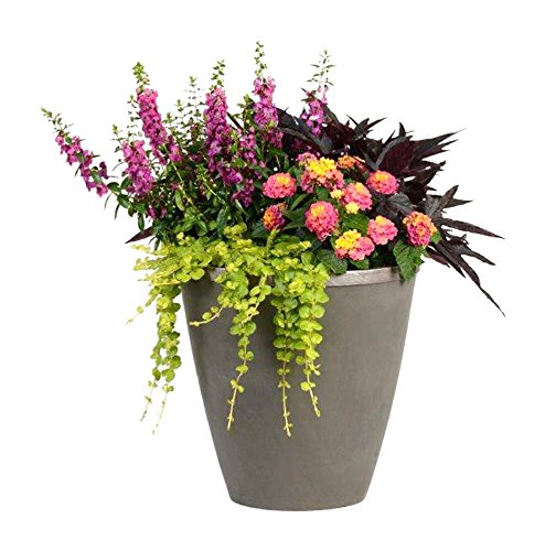 Burpee Combo 'Paradise' - Create Instant Colorful Container Gardens with Eight 4 in. pots by Burpee (Image #3)