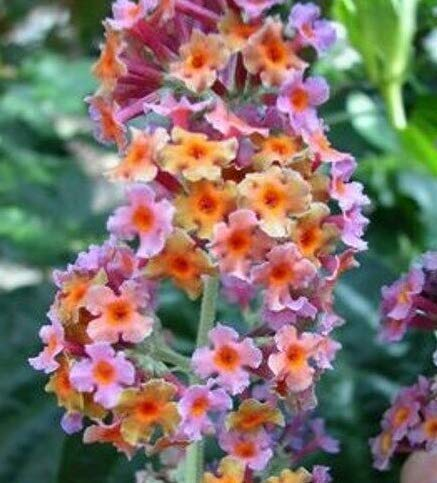 Prune Butterfly Bush - 9