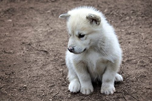 1art1 Dogs Poster Adhesive Photo Wall-Print - Cute Little Greenland Puppy Dog (71 x 47 inches)