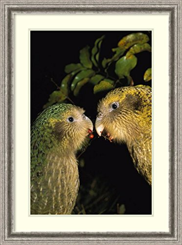 Framed Art Print 'Kakapo pair playing, Codfish Island, New Zealand' by Tui De ()