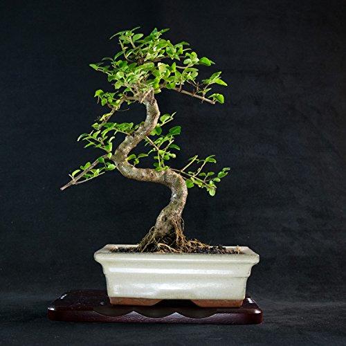 Chinese Privet Shohin Bonsai Tree - Ligustrum Sinense # 1669