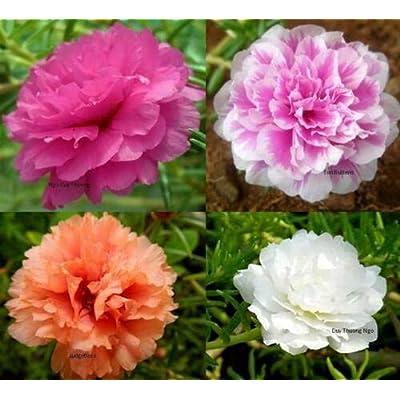 Toyensnow - Moss Rose Double Flower Mix Seeds (58k Seeds or 1/4 oz) : Garden & Outdoor