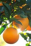Dwarf Valencia Orange Tree, Seedless Citrus (Excludes: CA,TX,LA,AZ)