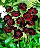 20 Chocolate Cosmos - Blooms all summer long and has rich scent like chocolate, DIY Home Garden flower