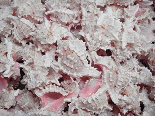 - Pink Murex Shell - 10 Pack by Pelican