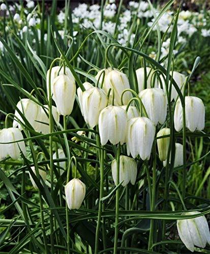 White Checkered Lily 10 Bulbs-Fritillaria Meleagris alba-Heirloom! - 5+ cm Bulbs