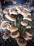 25'' Shiitake Mushroom Fatboy Log Enjoy Edible Amazing Mushrooms Grow Your Own