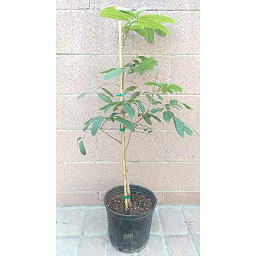 Longan Fruit Tree Tropical Fruit Tree 3 Feet Height in 3 Gallon Pot #BS1 by iniloplant (Image #1)