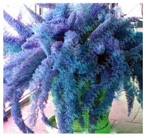 - 120 Pcs Rare Rainbow Bamboo Foxtail Seeds,Bambu Blue Winter Bonsai Seeds Plants Ornamental Plant for Home Garden