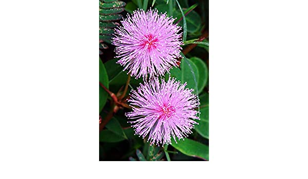 Sensitive plant sleepy bush rare bonsai powder puff seed 20 seeds Mimosa pudica