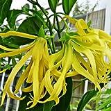Ylang ylang Tree Cananga odorata exotic perfume fragrant flower Grow Root Plant