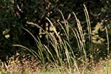 Stipa Robusta / Sleepy Grass Seeds - New Mexico Feather Grass (100 Seeds)