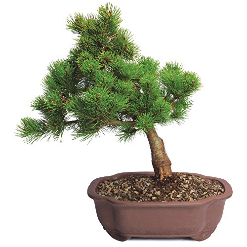 Brussel's Live Japanese Five Needle Pine Outdoor Bonsai Tree - 5 Years Old; 10
