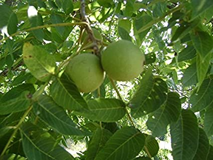 Amazon com : THOMAS BLACK WALNUT TREE - 2 YEAR OLD : Garden & Outdoor