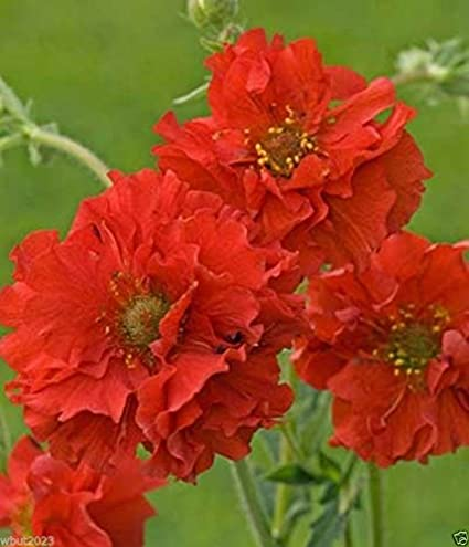 Amazon geum seeds avens aka mrs bradshaw 100 seeds bright geum seeds avens aka mrs bradshaw 100 seeds bright red perennial flowers mightylinksfo