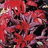 Outsidepride Amaranthus Molten Fire - 5000 Seeds