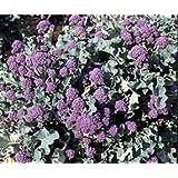 Bobby-Seeds Kohl-Samen Sprossenbrokkoli Summer Purple Portion