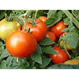 50 Early Girl Tomato Seeds: Tomato Seeds Early Girl 50 or 200 Seeds