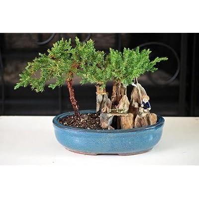 Bonsai Juniper Tree Zen Garden with Pool Fishman Home Plnat Indoor Best Gift: Garden & Outdoor