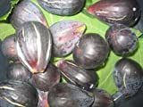 BLACK MADEIRA - FIG From Madeira Island - PORTUGAL (5) x Tree cuttings