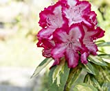 3 Rhododendron'President Roosevelt' Plants In 9cm Pots, Stunning Red/White Flowers 3fatpigs