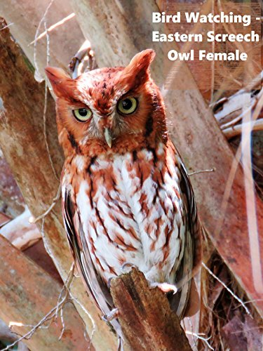 Bird Watching - Eastern Screech Owl Female