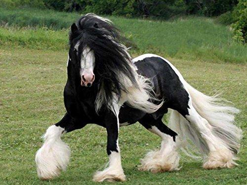 Gypsy Vanner Horse f5 – キャンバスプリント24 x 16インチ、フレームなし) B073ZDRZTJ