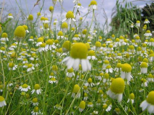 (Chamomile Seeds- German- Heirloom Herb- 500+ Seeds)
