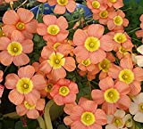 Rare Oxalis obtusa Coppery Orange Oxalis Flowers Bulbs for Garden Kalanchoe Survival high