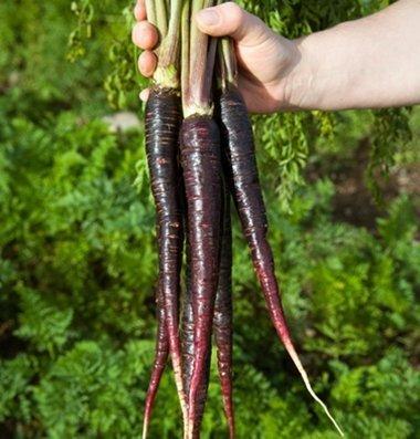 David's Garden Seeds Pelleted Seeds Carrot Purple 68 D3109D (Purple) 100 Hybrid Seeds