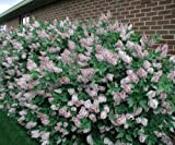 "1 Starter Plant (2 1/2"" Pot) of Miss Kim Lilac Shrub - Syringa Pubescens Subsp. Patula 'Miss Kim.'"