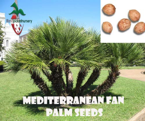 25 Mediterranean Fan Palm Seeds, (Chamaerops humilis) from Hand - Palm Mediterranean Fan