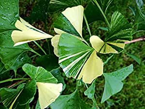 1 Pcs of 1.16 qt Ginkgo biloba 'White Lightning', Variegated Ginkgo