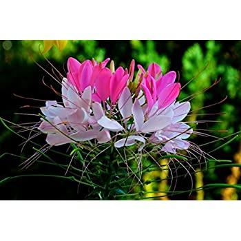 Amazon 200 violet queen cleome spider flower cleome rare hot pink white spider flower cleome 25 seeds combsh mightylinksfo