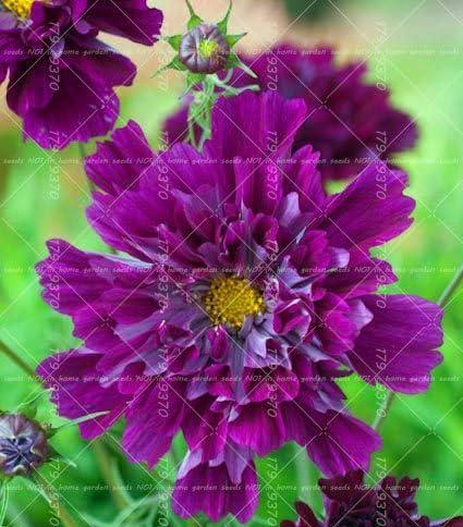 100 Pcs Double Cosmos Graines Graines de fleurs vivaces Bonsai Chrysanth/ème plante plantes ornementales balcon Jardin Facile /à cultiver 4