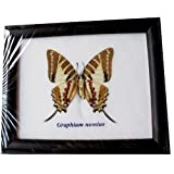 FRAMED REAL BEAUTIFUL GRAPHIUM NONIUS (FONT) BUTTERFLY DISPLAY INSECT TAXIDERMY 5X5X1 by Thai