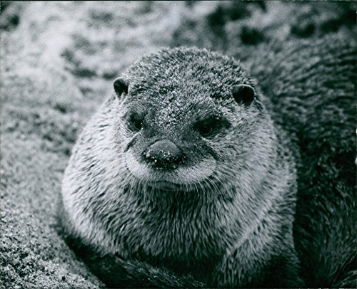 Vintage photo of Close-up of a cute little ground hog. -