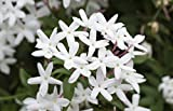 "Star Jasmine Vine, LIVE POTTED Plant, Jasminoides, Very Fragrant, 8"" - 15"""