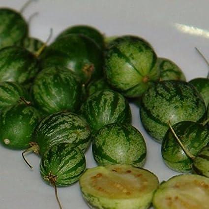 Wild Pepino Solanum caripense Lloron Tzimbalo 5+ seeds Heirloom!