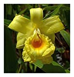 Sobralia xantholeuca - orchid - 100 seeds