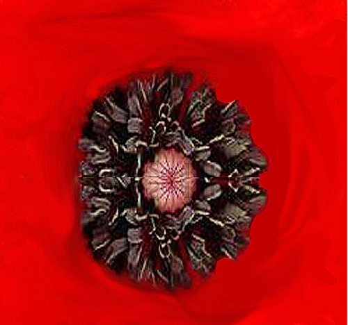 (BIG PACK - RED POPPY (100,000) HEAVY BLOOMER flower Seeds - Papaver rhoeas - Zones: 3-9 By)