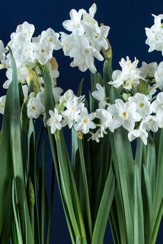 10-narcissus-ariel-paperwhites-size-extra-large-paperwhites-for-forcinggrown-in-israel-best-quality-